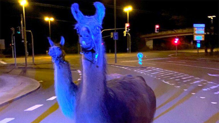 Exotisch: Lamas und Zebras am Seilersee